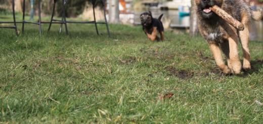 ボーダーテリア 子犬